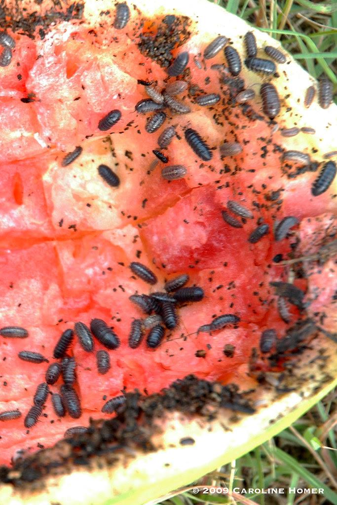 melon rind pill bug trap