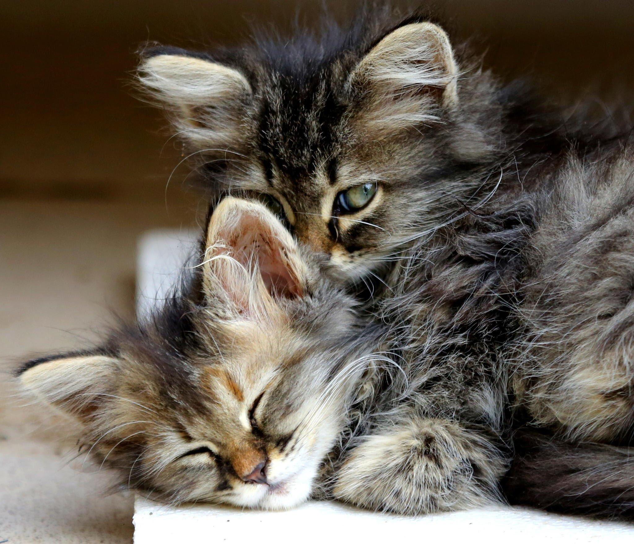 Download Kittens Hugging Gif Png Gif Base