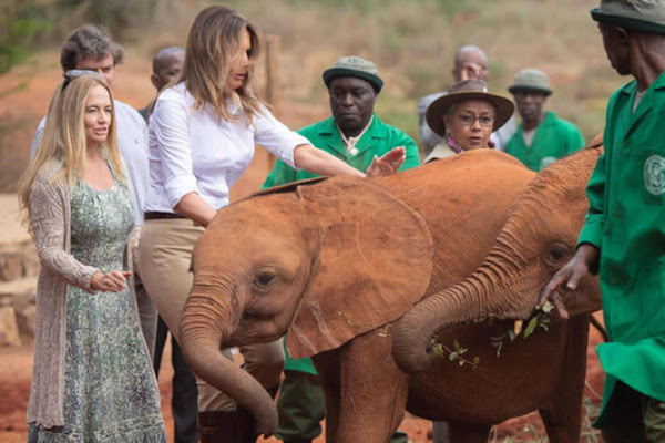 8f368a96695f6 Melania Trump in Africa  Donald Trump s wife almost FALLS OVER in near  awkward blunder. MELANIA Trump nearly fell over in Kenya when she fed a baby  elephant ...