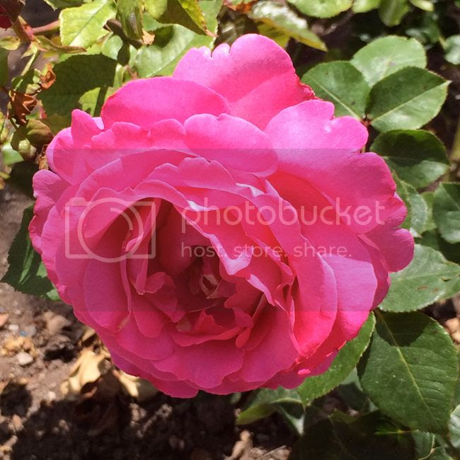 Rose Story Farm-pink-rose