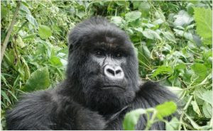 A giant Gorilla captured in our 3 Days Bwindi Gorilla Tour