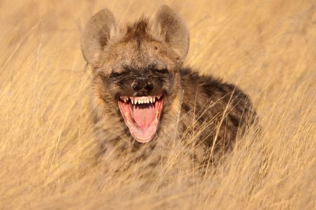 Hyena appears to be laughing