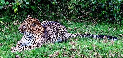 leopard at aberdare