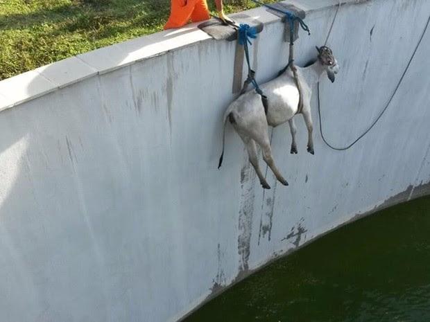 Vaca caiu em um reservatório localizado na Rua Noventa e Quatro, em Maranguape II (Foto: Corpo de Bombeiros/Divulgação)