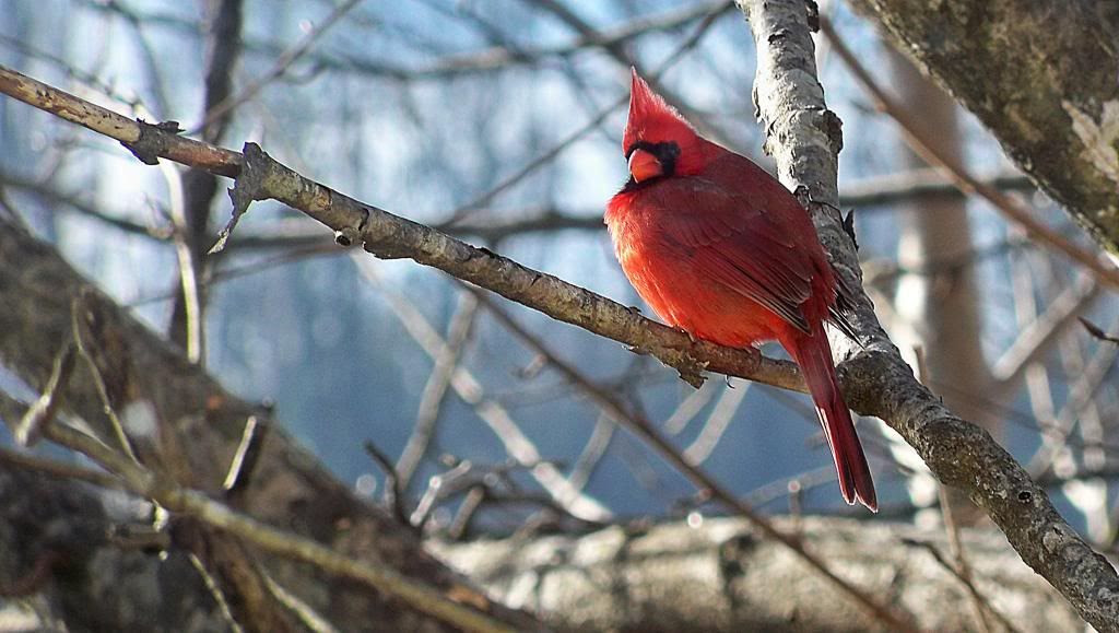 A Cardinal Outside My Window  ©2012 by Bobby Coggins
