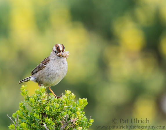 White-crowned sparrow with grasshoppers in Point Reyes National Seashore