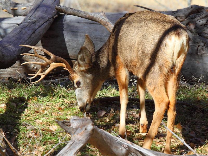 IMG_1068 Mule Deer Buck
