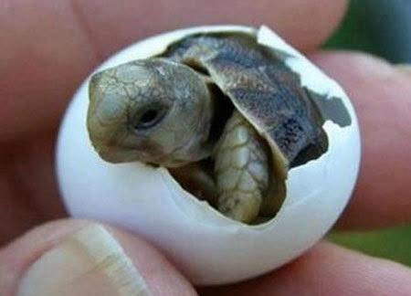 rùa, bào thai, tự chọn giới tính, động vật máu lạnh, trứng