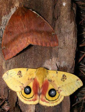 photo io_moth02_zps1f6655ba.jpg
