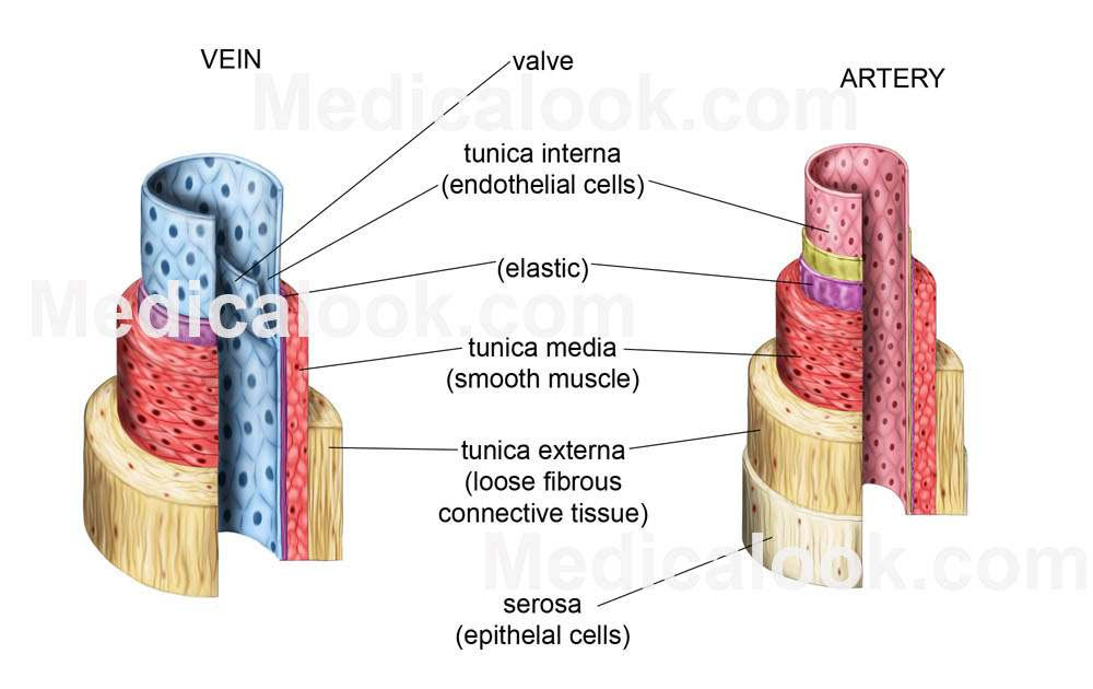 Veins Diagram Healthiack