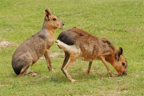 ZooPic   Patagonian Mara picture