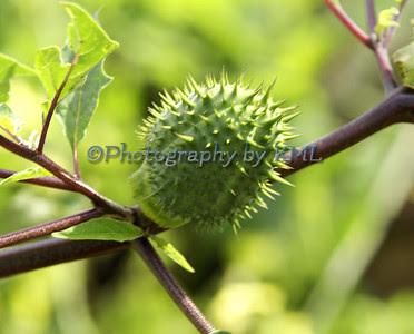 a green spike plant pod