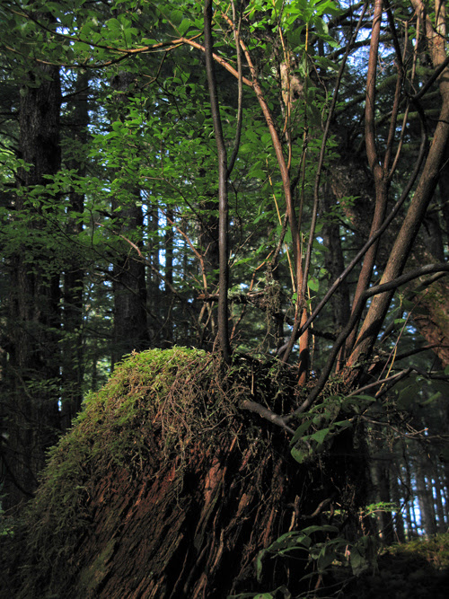 new trees grow out of an old stump near Kasaan, Alaska