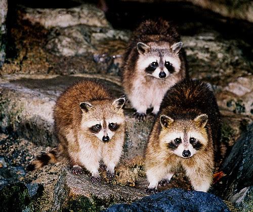 Raccoons F1040003