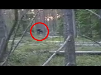 Pie grande en Captado Rusia Video / Bigfoot (Almasty) Caught On Tape In Russia 2015