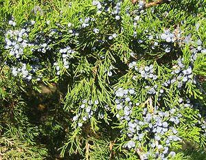 Eastern Juniper Juniperus virginiana. Photo by...