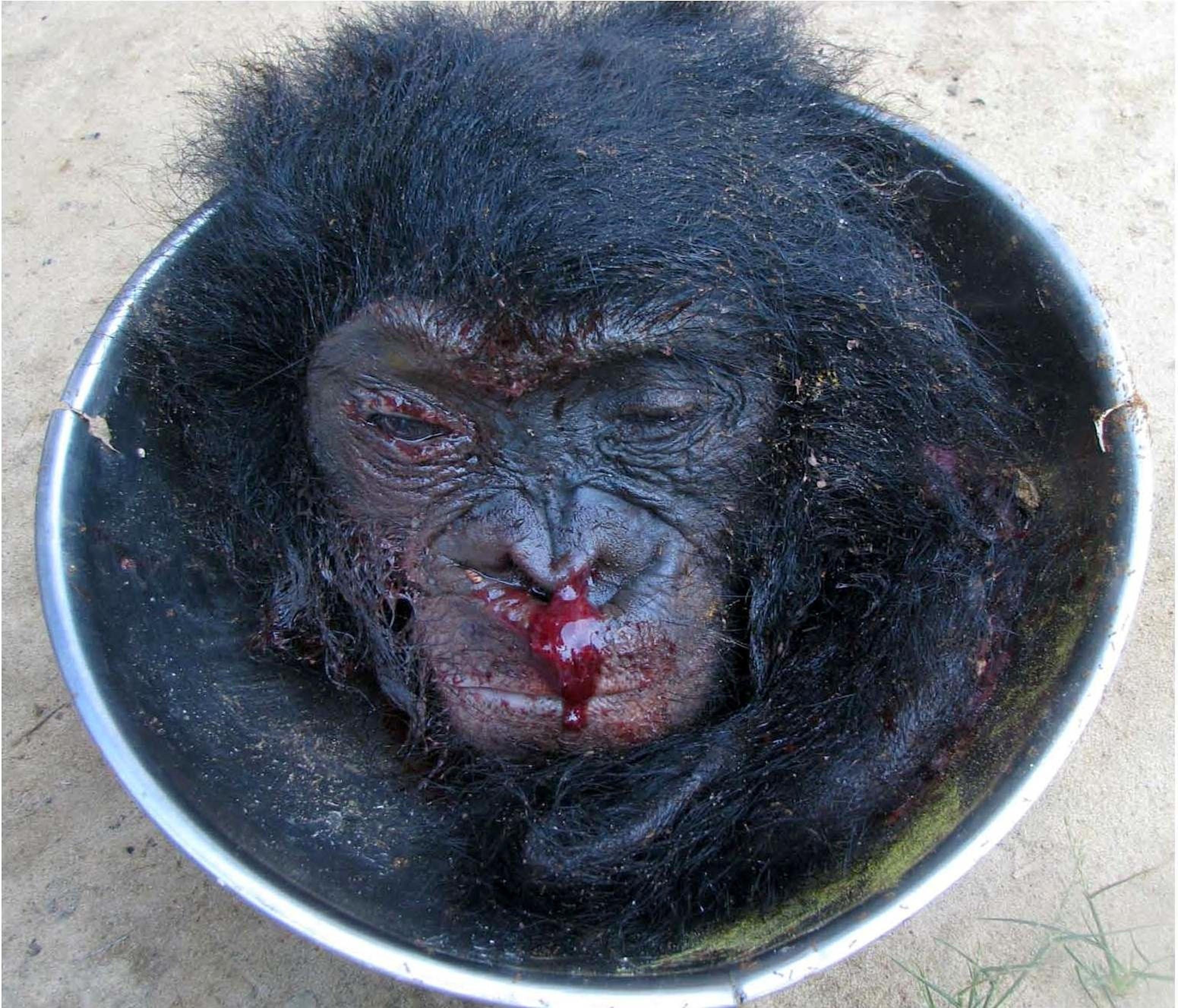 Terese Hart / www.bonoboincongo.com