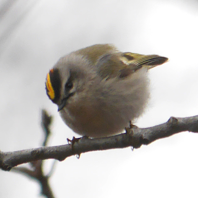Ed Gaillard: birds &emdash; Golden-Crowned Kinglet, Central Park