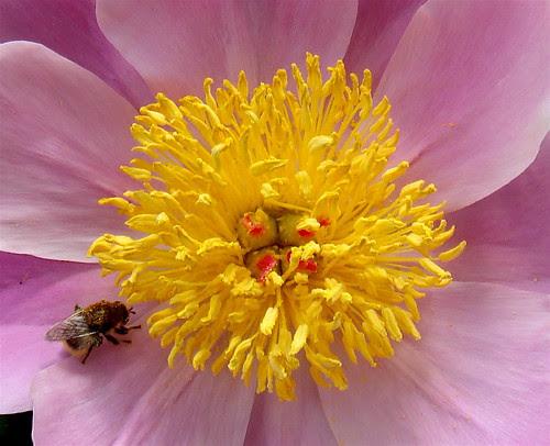 Peony with bee