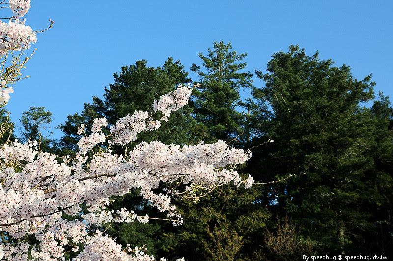 阿里山櫻花季26