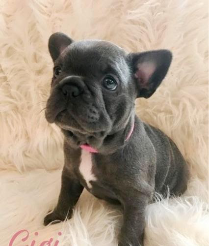 French Bulldog puppies available for sale #1 for Sale in ...