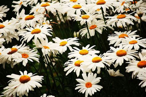 How Much Do Daisies Cost?   HowMuchIsIt.org