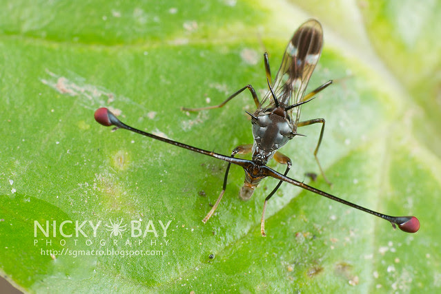 Stalk-Eyed Fly (Diopsidae) - DSC_8249