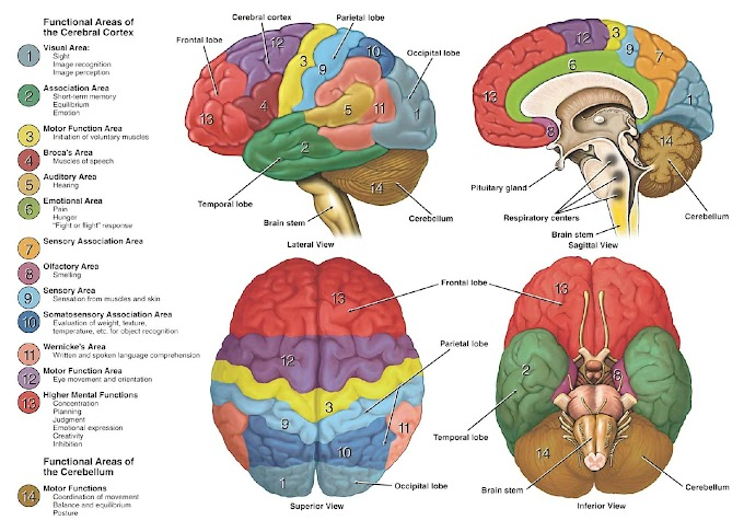 Poster : Functional Areas of the Cerebral Cortex