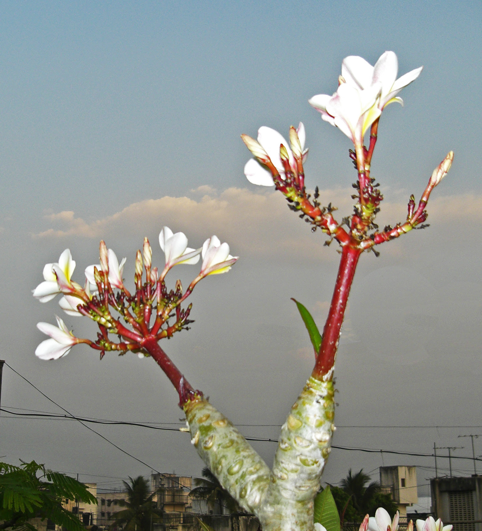 White Plumeria bonsai