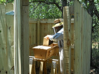 Bees 2012 Placing Box in Top Bar Bee Hive