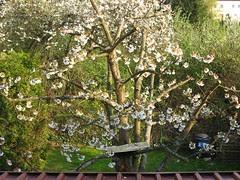 Kirschblüte 2010