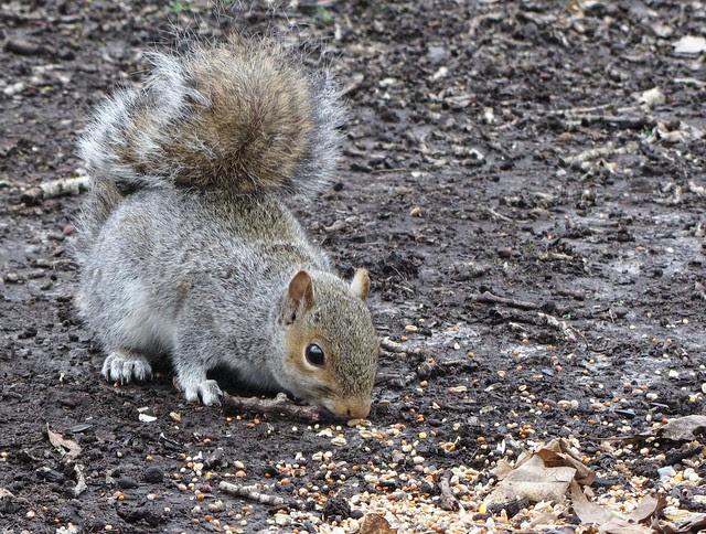 IMG_3354 Grey Squirrel