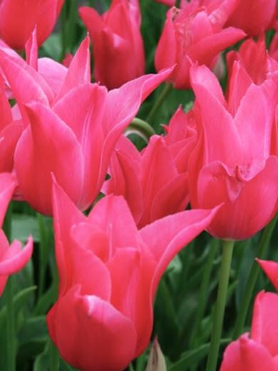 Tulipa 'Mariette' 5 stk