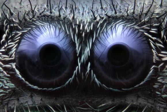 Ojos de araña saltarina