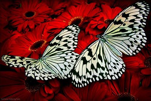Singapore Butterflies por _tomanthony
