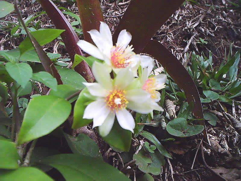 Pelos indígenas é chamada Guaipá (Fruta que tem espinhos), essa trepadeira nativa de mata atlântica e matas ciliares do Cerrado , é um arbusto trepador ramificado de folhas simples com espinhos semelhantes a unha de gato, abaixo do pecíolo. As flores do Guaipá são brancas e seus frutos são bagas amarelas de 1 a 2 cm de diâmetro, com pequenos espinhos, polpa gelatinosa e pouco saborosa. As folhas são consumidas em forma de refogados, omeletes, sopas, bolinhos vegetais e até saladas.