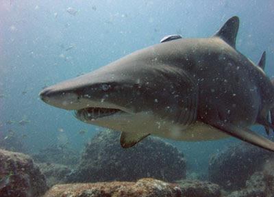 El tiburón toro es una de las especies protegidas.
