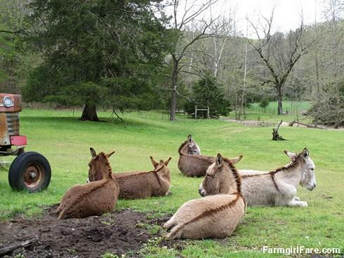 Donkey day off (1) - FarmgirlFare.com