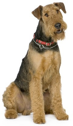 Airedale Terriers: Whats Good About Em? Whats Bad About Em?