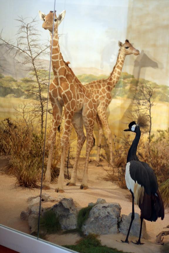 brioni animals museum giraffes