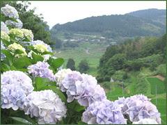 13 hortensia and tanada