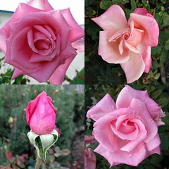 Nimitz Roses collage