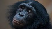 gty_bonobo_empathy_jt_130406_wg