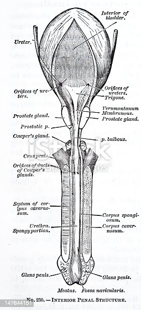 Antique Penis Diagram stock vector art 147644151 | iStock