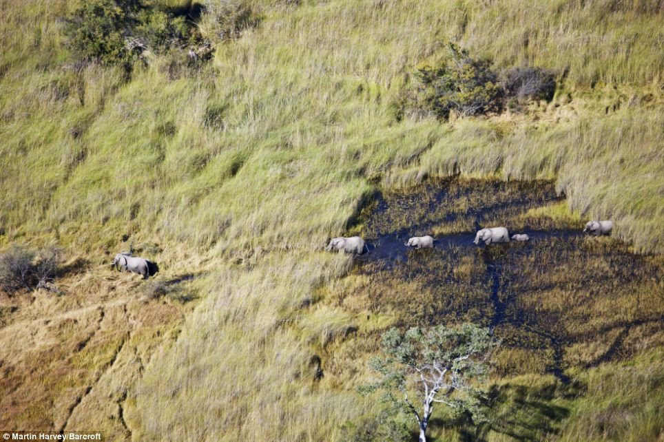 On the march: African elephants - including a baby - march in single file in Botswana