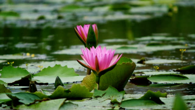 http://media.gettyimages.com/videos/lotus-flower-in-pond-video-id473052857?s=640x640