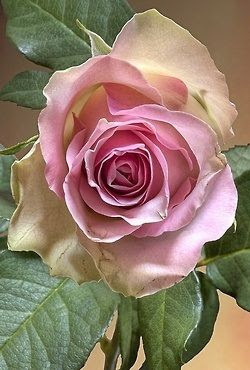 Incredible rose... So delicate.