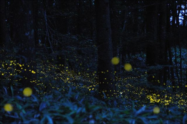 Golden Fireflies