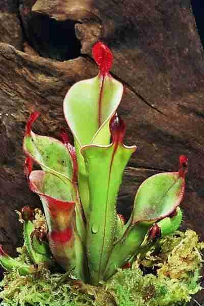 9 τρομακτικά Σαρκοβόρα Φυτά