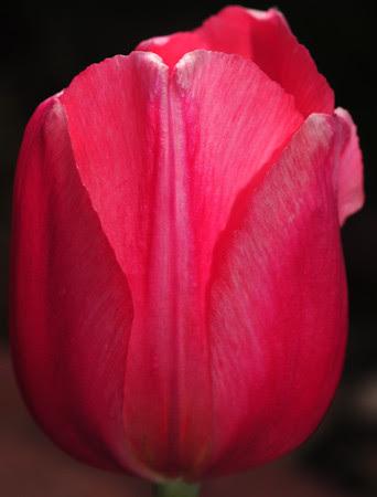 I heart tulips!